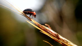 Little ladybug in drief grass Stock Image