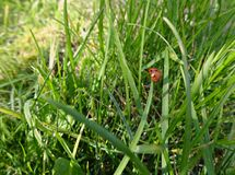Little ladybug in green grass stock photo
