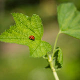 Little ladybug 02 Stock Image