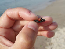 Little ladybug, rescued from the water. Royalty Free Stock Photo