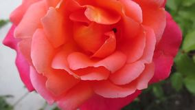 Little ladybug running through the petals of a beautiful orange rose in the spring garden stock video