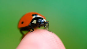 Little ladybug sitting on finger summer Stock Images