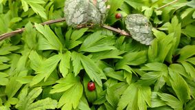 Little ladybugs crawl on new green leaves in the spring on a sunny day and get ready to fly. stock footage