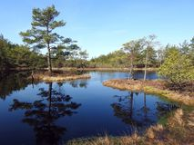 Little lake and beautiful trees in swamp, Lithuania Royalty Free Stock Image