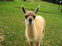 Little Lama Royalty Free Stock Image