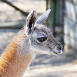 Little Lama Stock Photo