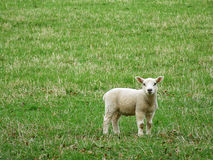 Little lamb. In spring time in Scottish field Stock Photography
