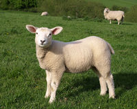 Little Lamb. Little Spring Lamb in a Green Meadow Stock Photography