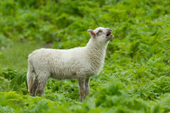 Little lamb Stock Photography