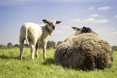 Little lamb with black mother sheep. Two sheep relaxing on the grass Royalty Free Stock Image