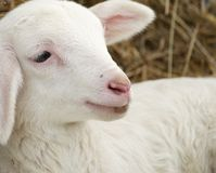 Little lamb. Royalty Free Stock Images