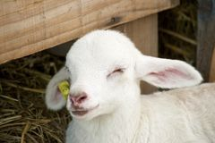 Little lamb. Royalty Free Stock Image