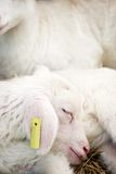 Little lamb. Stock Photography