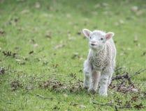 Little lamb Stock Images