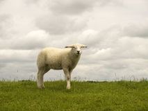 Little lamb on a dike Royalty Free Stock Photo