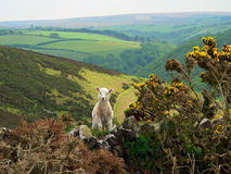 Little lamb in exmoor valley, england. Little lamb in exmoor valley, south england stock photo