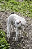 Little lamb on a farm. Little lamb on the farm looking very cute with grass field surround royalty free stock photos