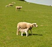 Little lamb feeding Royalty Free Stock Photos