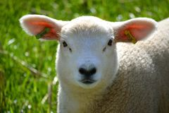 Little lamb. In the field Stock Photo
