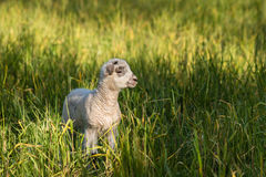 Little lamb in grass Royalty Free Stock Photo