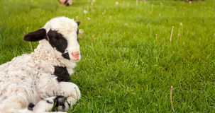 Little lamb on the grass Royalty Free Stock Image