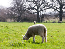 Little Lamb grazing on the grass Royalty Free Stock Images