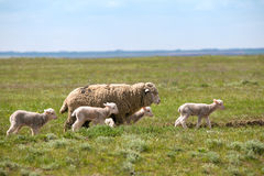 Little lamb Royalty Free Stock Images