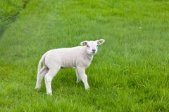 Little lamb on green grass near the fence. The  Netherlands stock photo