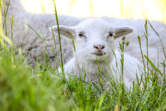 Little lamb in the green grass Stock Photos