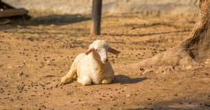 Little lamb isolated in a dust background,. Little lamb isolated and sit on the ground stock photography