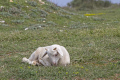Little Lamb in Istria Royalty Free Stock Images
