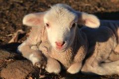 Little lamb Royalty Free Stock Photos