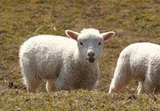 Lamb chewing Royalty Free Stock Image