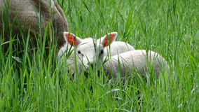 Little Lamb peeking to the grass Stock Photo