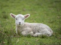 Free Little Lamb Portrait Stock Photos - 59155293