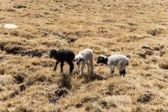 little lamb Royalty Free Stock Photography