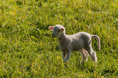 Little lamb searching for sheep Royalty Free Stock Photography