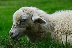 Little lamb of sheep Ovis Aries lying peacefully in fresh green grass Royalty Free Stock Image