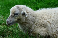 Little lamb of sheep Ovis Aries lying peacefully in fresh green grass Royalty Free Stock Photography
