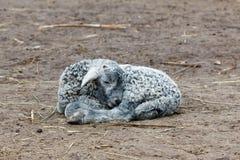 Little lamb sleeping young Royalty Free Stock Image