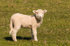 Little lamb standing on meadow Stock Photo