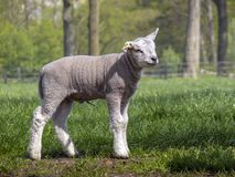 Little lamb standing with piece of navel cord. stock image