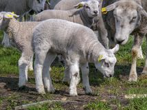 Little lamb standing between other lambs and sheep, on a meadow with piece of navel cord. royalty free stock photos