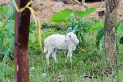 Little lamb wild in the grass and vegetation. Little lamb wild in the green grass and vegetation of countryside Stock Photos