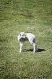 Little Lamb Stock Image