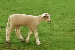 Little Lamb. A young lamb walking around a small pasture royalty free stock photos