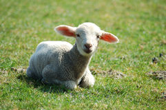 Little lambkin Royalty Free Stock Image