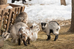Little lambs eat hay from the trough Royalty Free Stock Photos
