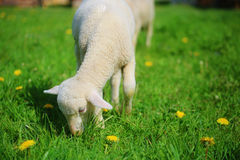 Little lambs grazing on a beautiful green meadow with dandelion. Stock Photos