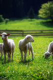 Little lambs grazing on a beautiful green meadow with dandelion. Royalty Free Stock Photos